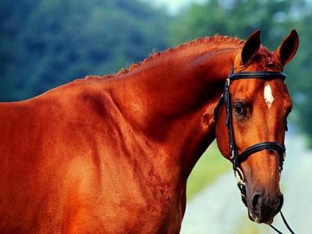 Фото лошади рыжей лошади со звездочкой