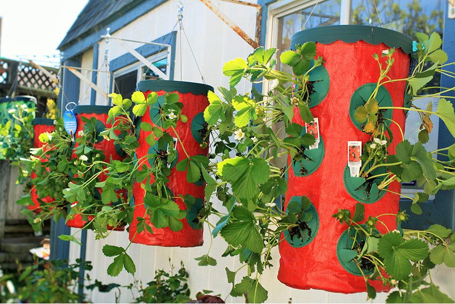 Вьющаяся клубника - уход и выращивание.