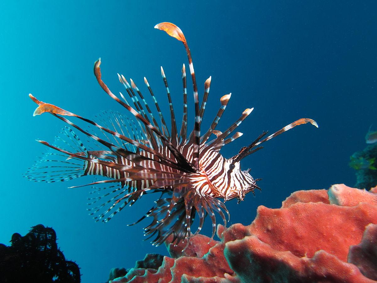Экологи отстреливают рыб-крылаток в Атлантике