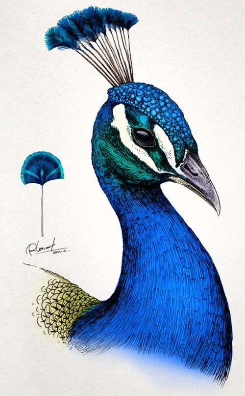 Peacock. Realistic Illustrations by RLoN Wang