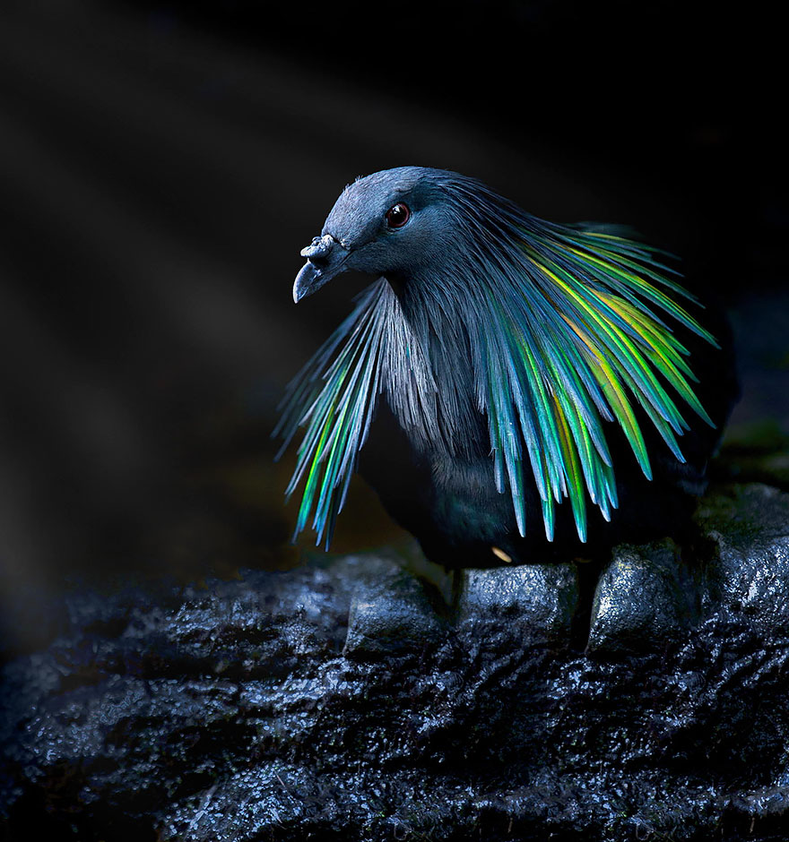 Meet The Closest Living Relative To The Extinct Dodo Bird With Incredibly Colorful Iridescent Feathers