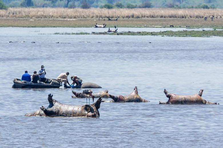 Сто бегемотов найдены мертвыми в реке Намибии