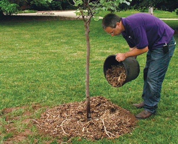 Удобрения для яблонь и груш весной