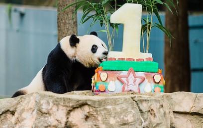 В Вашингтоне по китайской традиции отметили первый день рождения панды Бэй Бэй