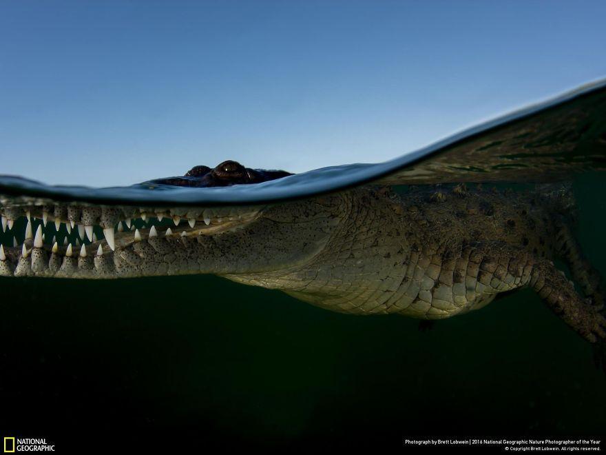 12. Ватерлиния крокодила.
