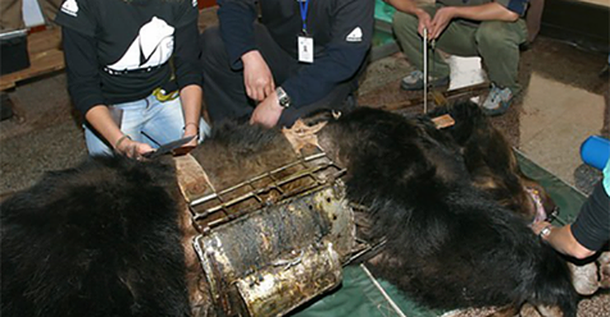 Этот медведь носил стальную «рубашку» много лет. Вот что произошло, когда его наконец освободили…