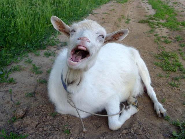картинки коз драных