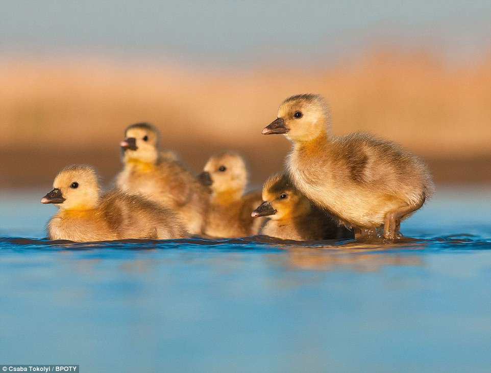 Kindergarden: Photographer Csaba Tokoly from Budapest, Hungary, captured this shot of Greylag goslings swimming