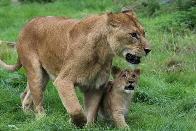 В британском зоопарке папа-лев самостоятельно вырастил оставшегося без мамы львенка
