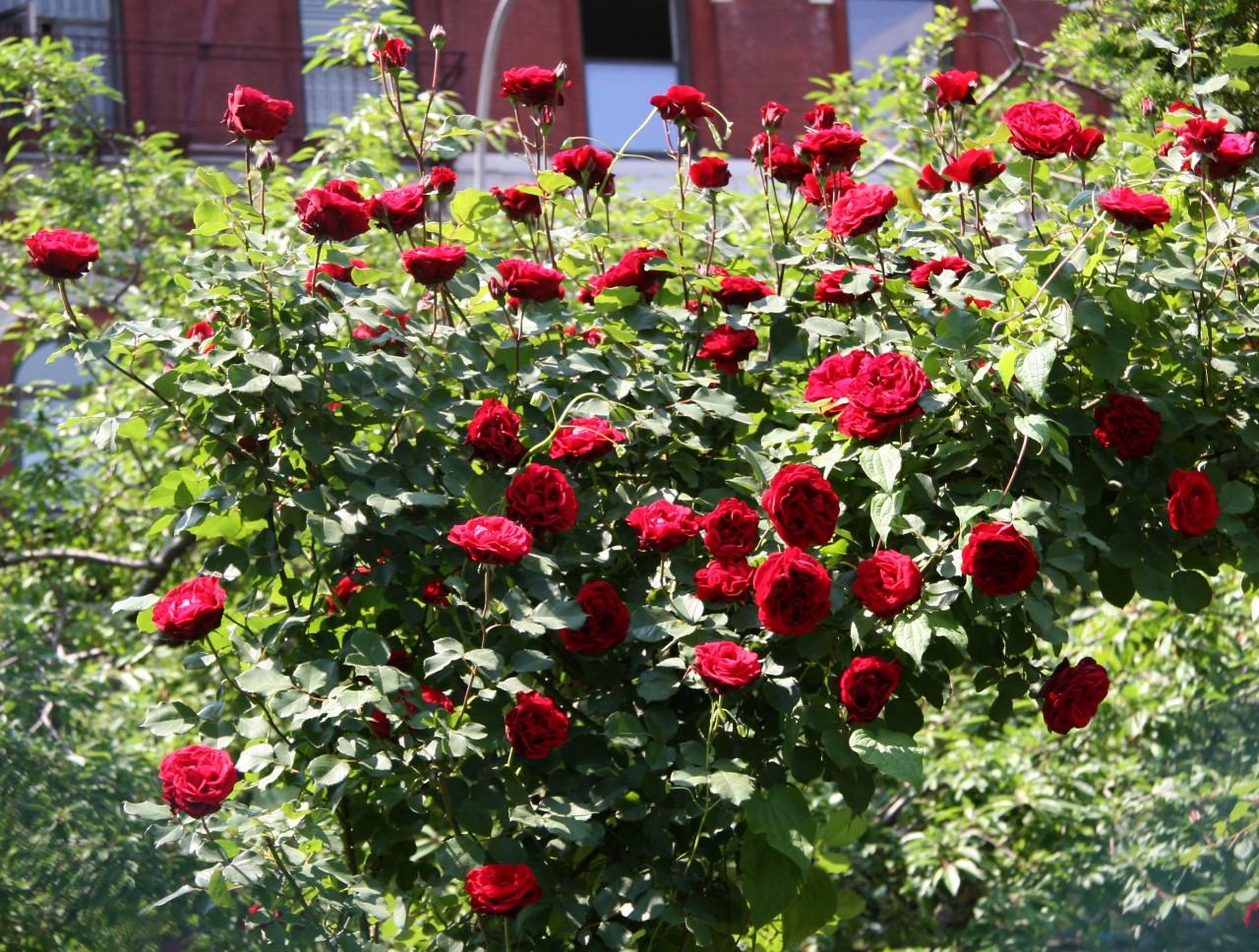 Вьющаяся роза посадка, уход и фото, размножение и 38