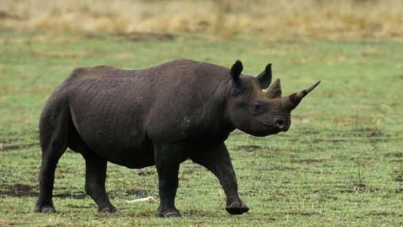 Премьер Танзании дал чиновникам сутки, чтобы они нашли редкого черного носорога