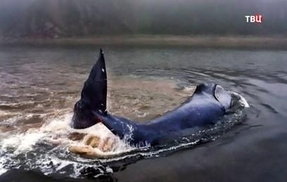 Застрявший в реке в Хабаровске гренландский кит освободился