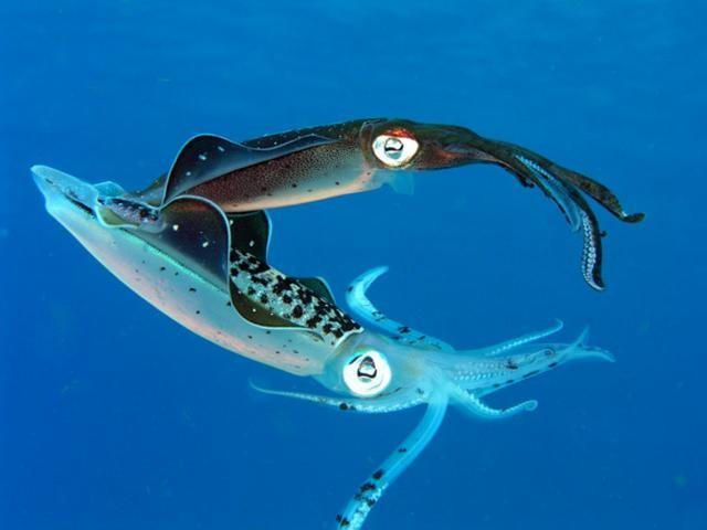 У кальмаров распространено жестокое спаривание животные, факты, фото