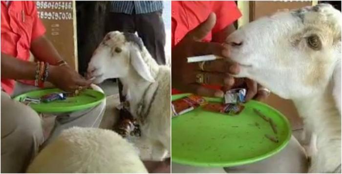 Овца пристрастилась жрать сигареты