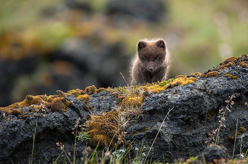 9. Дикий детеныш песца виды, исландия, красота, фото