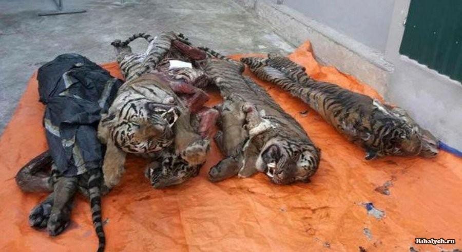 Морозильник, забитый тушками тигров