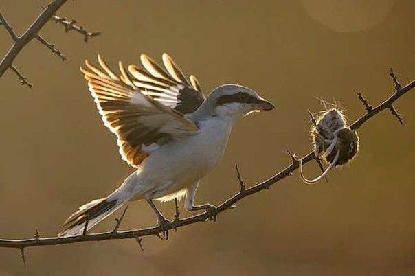 Птица-палач накалывает мышей…