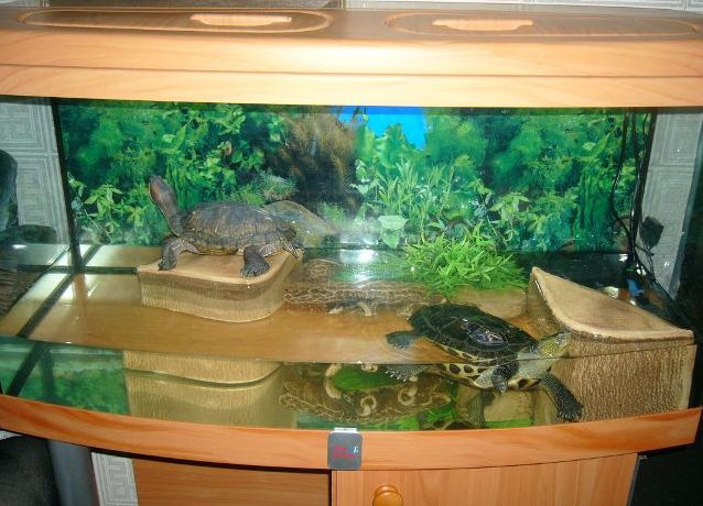 Содержание декоративных черепашек в домашних условиях