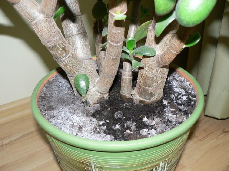 Белый налет в цветочных горшках - это сигнал о неправильном уходе за растениями