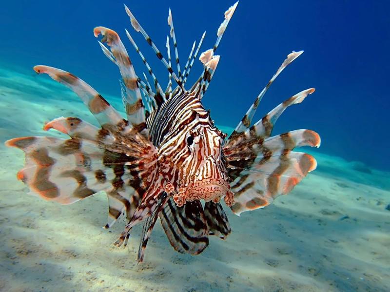 Крылатки животные, интересное, море, опасность, подборка, факты, фауна