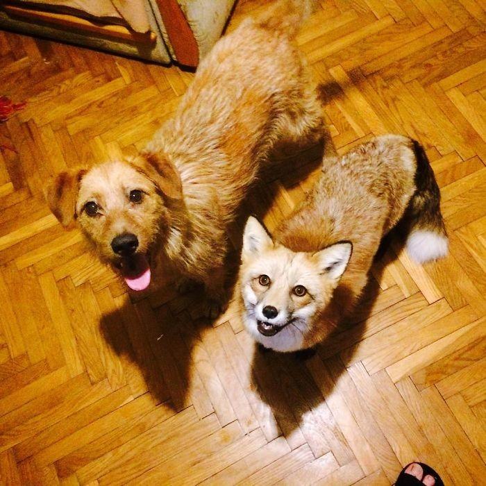 Домашняя лиса и пес - лучшие друзья