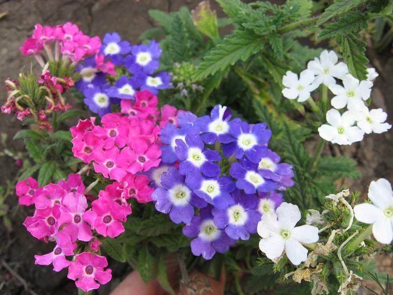 Разноцветные цветки вербена