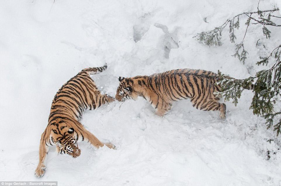 Схватка больших кошек