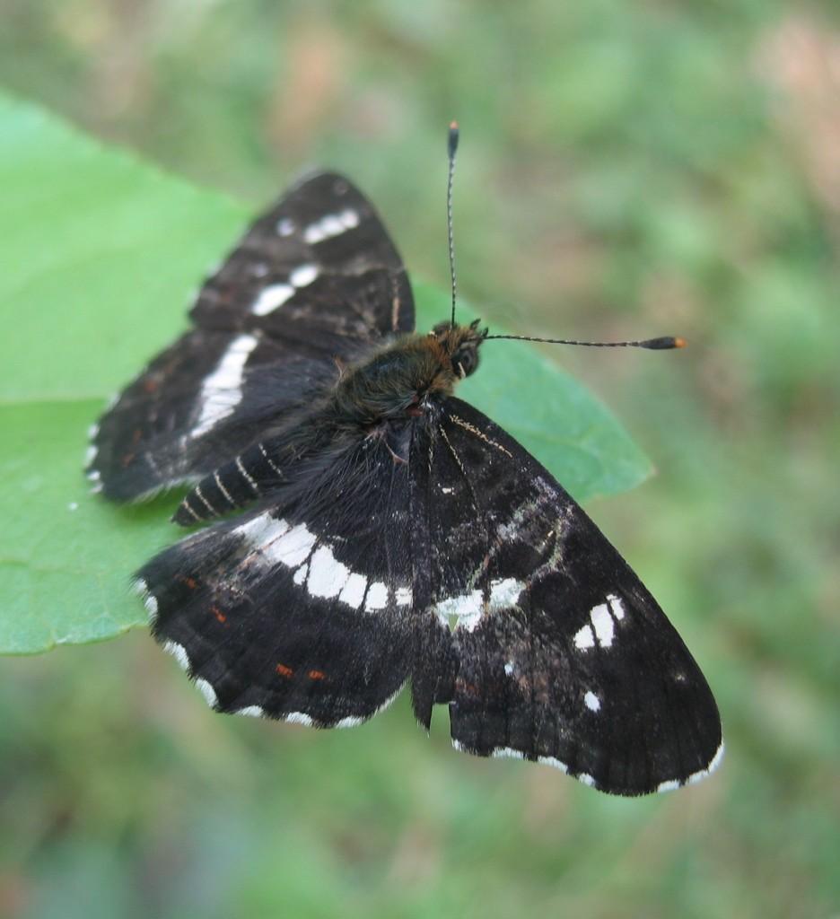 Бабочка траура
