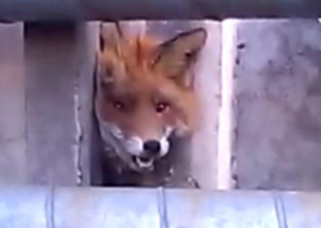 В Санкт-Петербурге спасли лису, застрявшую в бетонном заборе