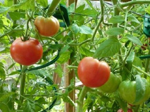 Выращивание озимых помидоров