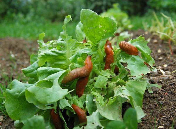 Защищаем огородную барыню от слизней