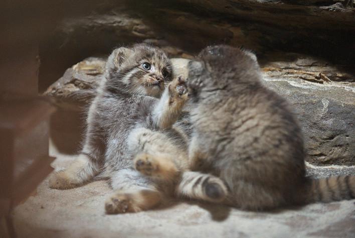 Котята манула - милые манулята