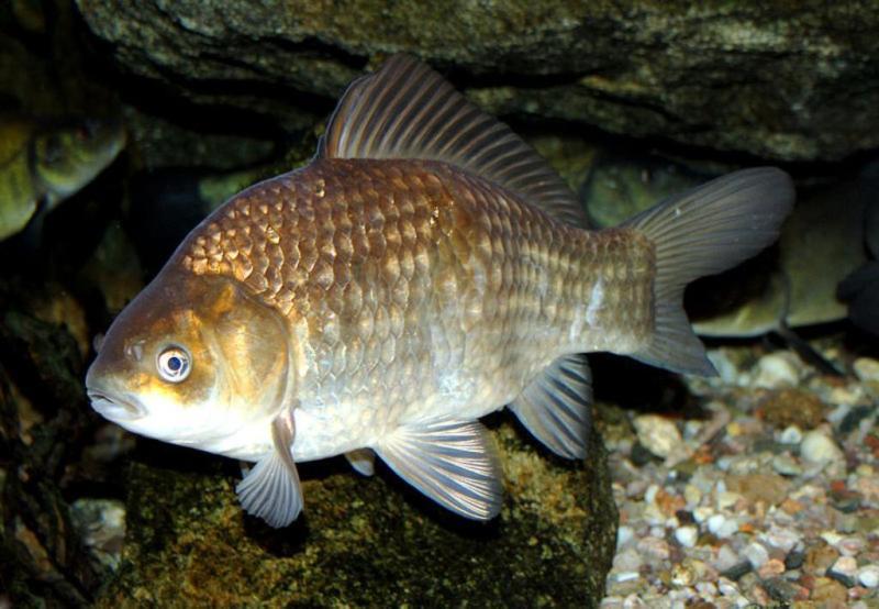 Как сделать уловистые насадки на карася - советы рыбака с полувековым стажем