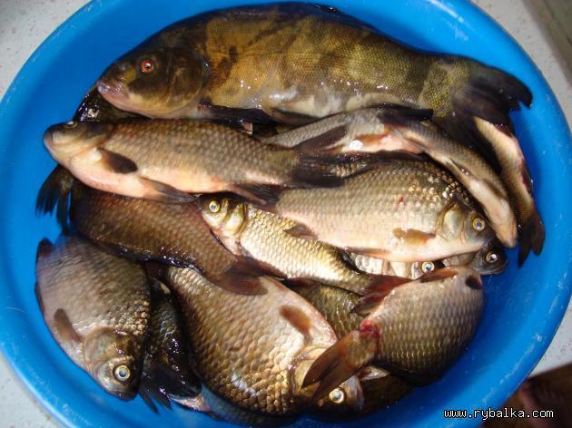 рыбалка и ловля карася в алтайском крае