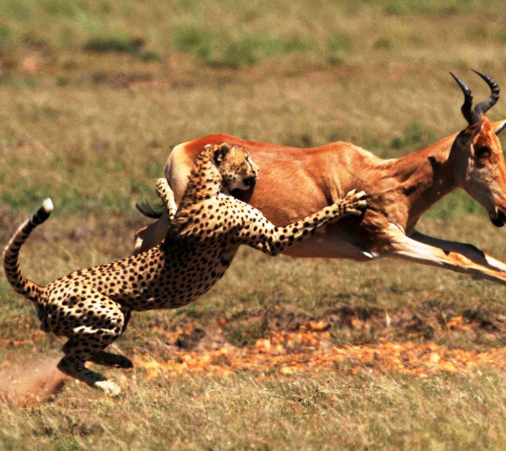 Сожрали заживо: кровавая трапеза гепардов на видео