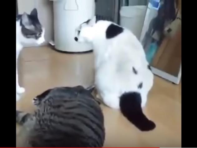 Оригинально прекративший разборку толстый кот покорил Интернет