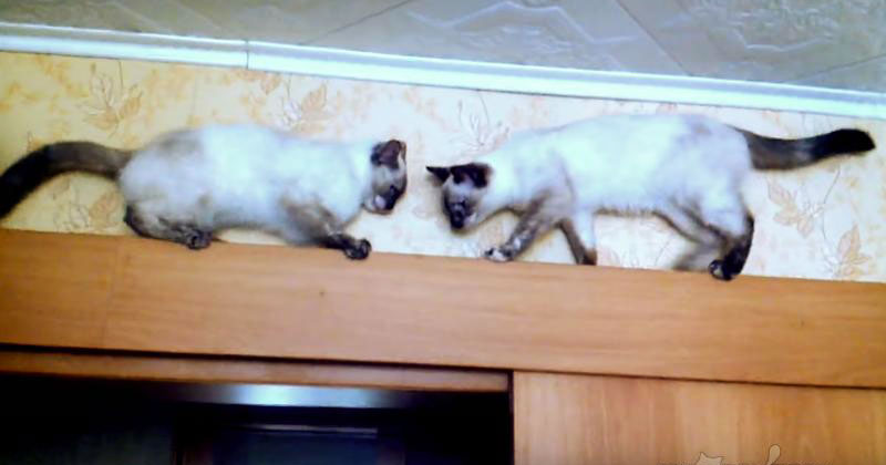 Двое котов не могли разминут…