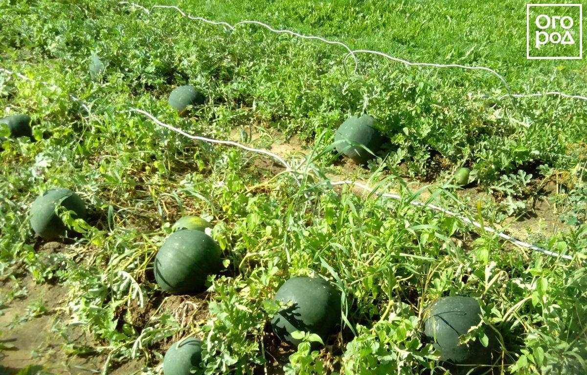 Арбуз выращивание открытым грунт 394