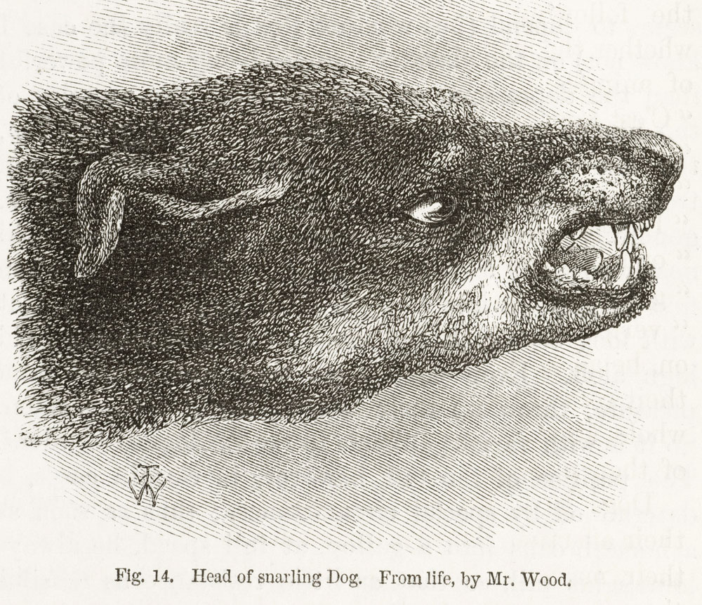 Snarling_dog_from_Darwin.jpg