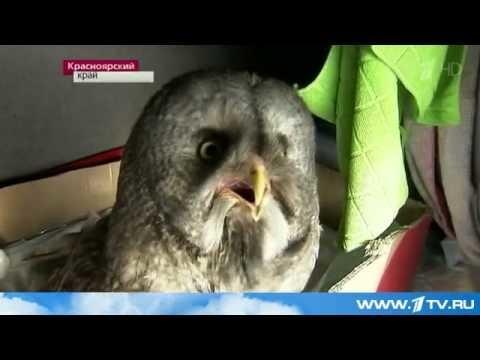 Водитель дальнобойщик из Красноярского края приручил дикую сову, и теперь она ездит с ним в рейсы