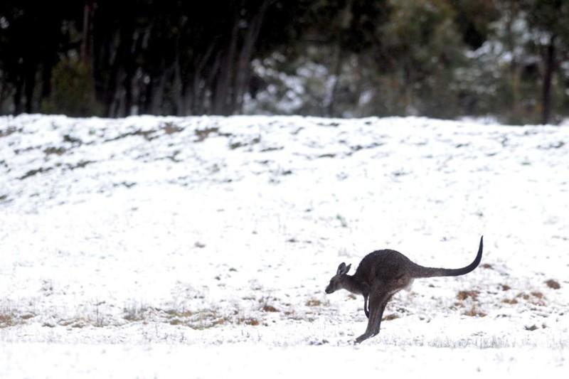Тем не менее, кенгуру на снегу выглядят крайне забавно зима, мир, снег, юмор
