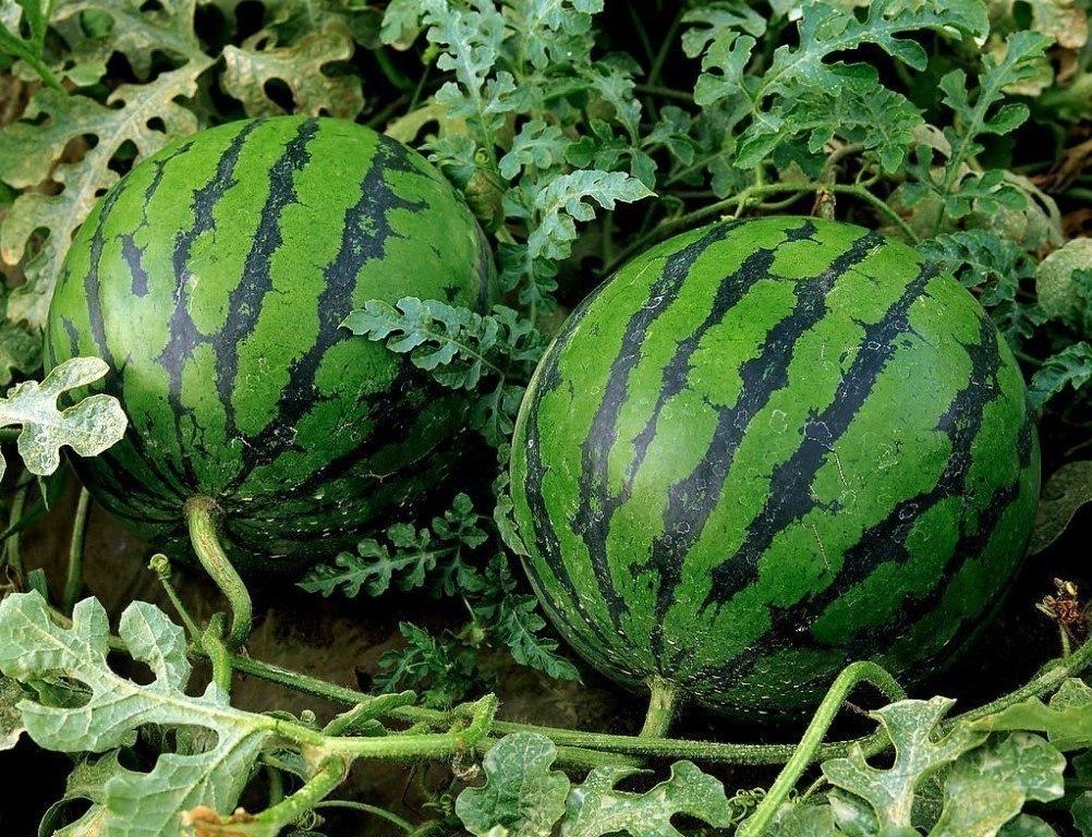 Спрашиваете как вырастить сладкий спелый крупный арбуз в наших условиях? Нет ничего проще!