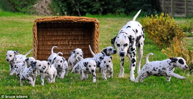 Почти как 101 далматинец, 16 щенков от одной мамаши