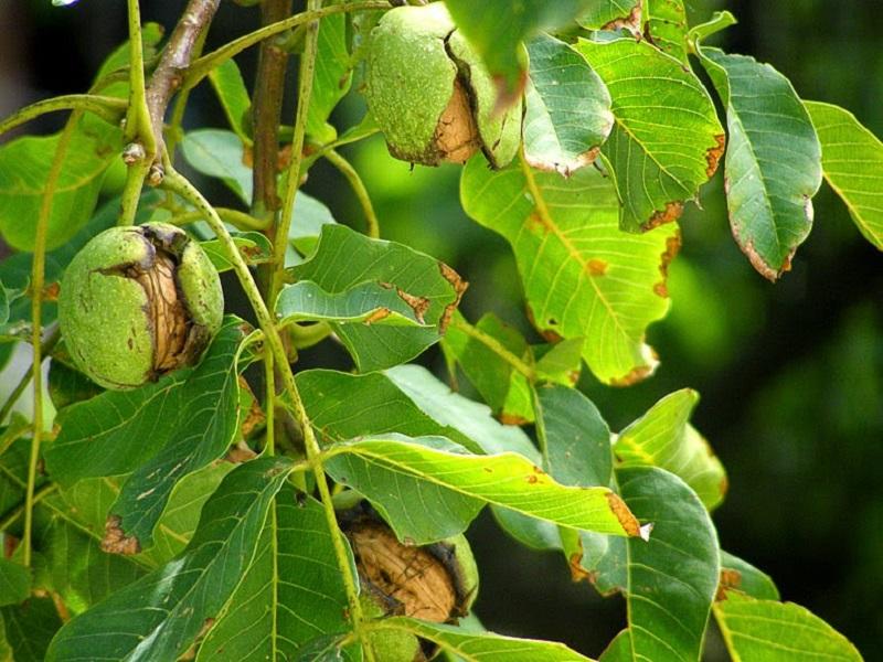 Настоящая панацея от многих недугов: ореховые перегородки способны исцелить организм!