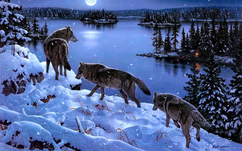 О том, как живут серые волки