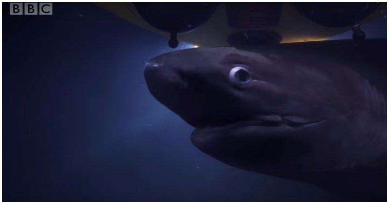 Пожирающие тушу кита акулы приняли батискаф команды BBC за конкурента
