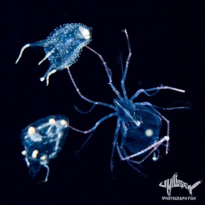 Чем меньше существо, тем оно причудливее: Фотограф показал, как выглядят необычные обитатели морских глубин