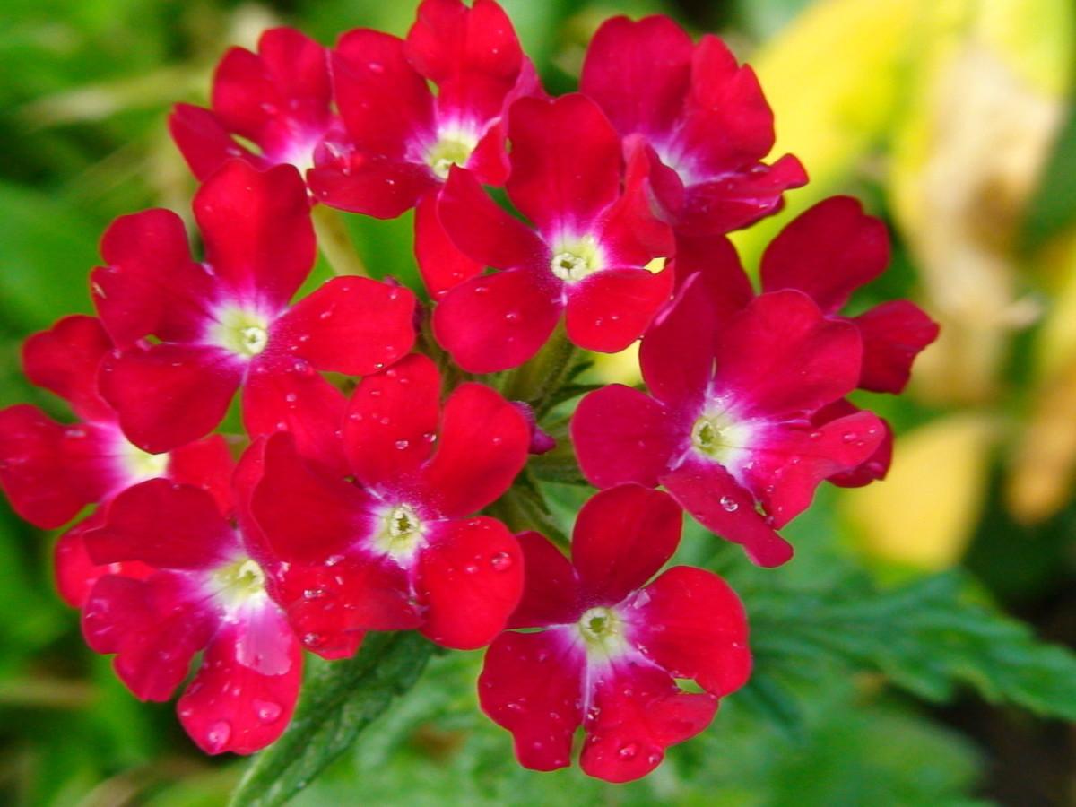 Красный цветок вербена