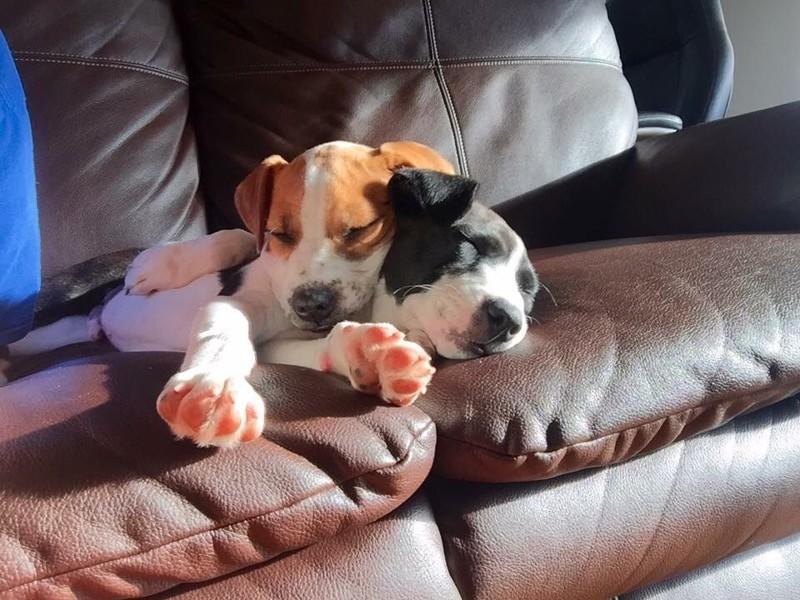 Необычная собачья дружба растрогала интернет! брюссельский грифон, дружба, друзья, животные, питбуль, собаки, спасение животных, трогательно