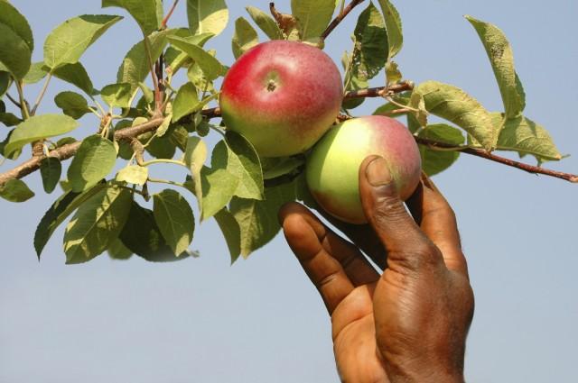 Хранение яблок.